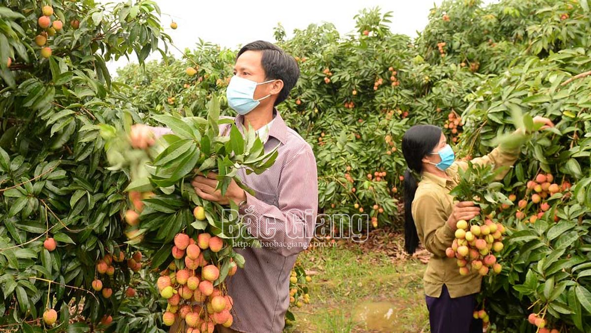 Vải sớm Bắc Giang tiêu thụ thuận lợi